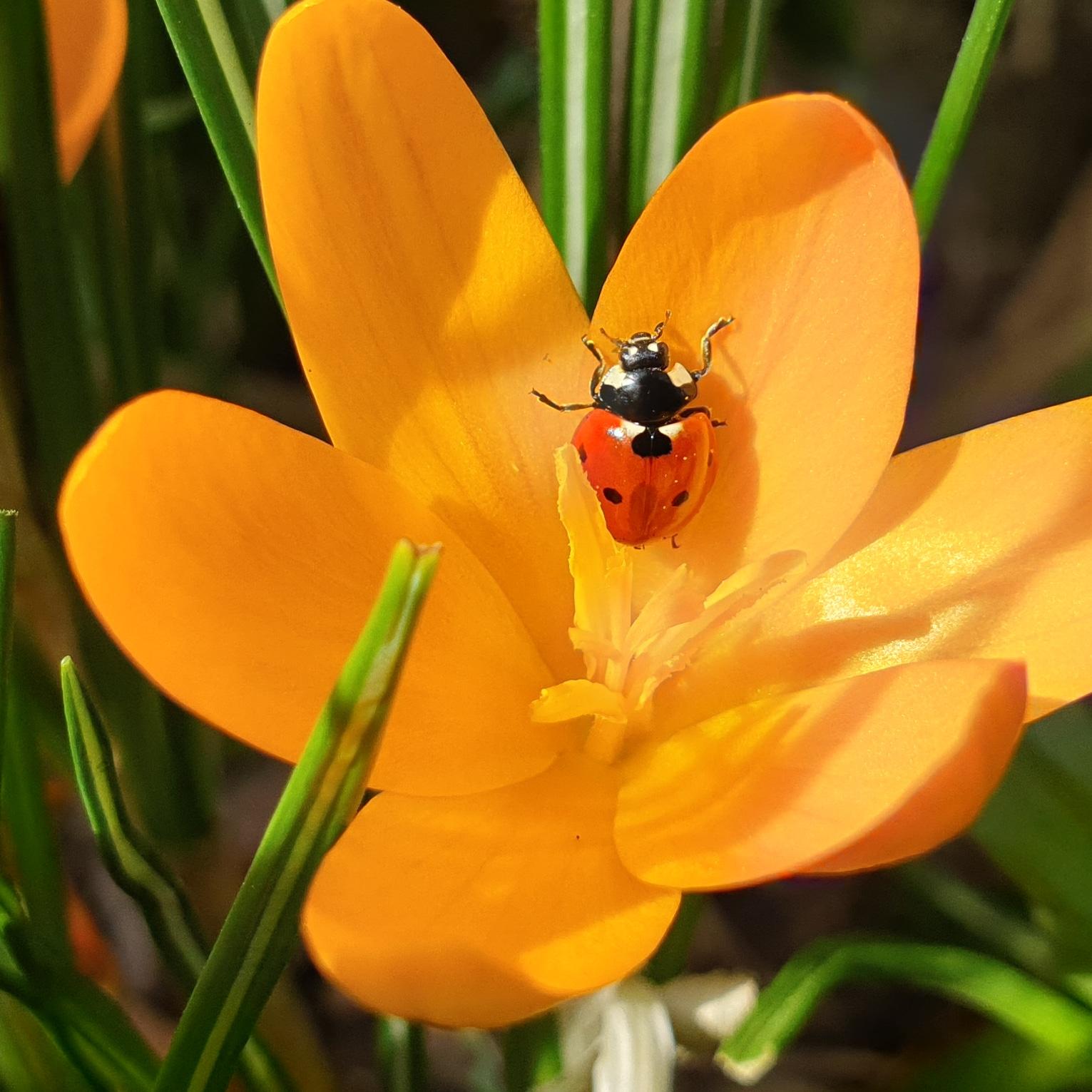 Marienkäfer auf gelbem Krokus im Garten im Frühjahr.