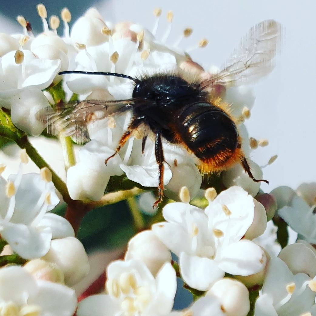 Erste Wildbienen im Frühjahr im Garten.